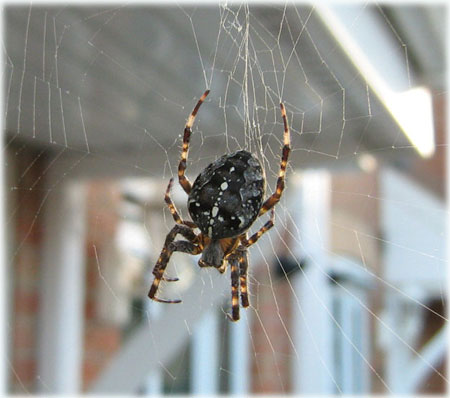 Garden-spider-cross-spider-orb-weaver