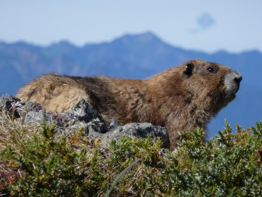 Olympic Marmot, photo by Timm and Theresa Martin from www.tntrv.com